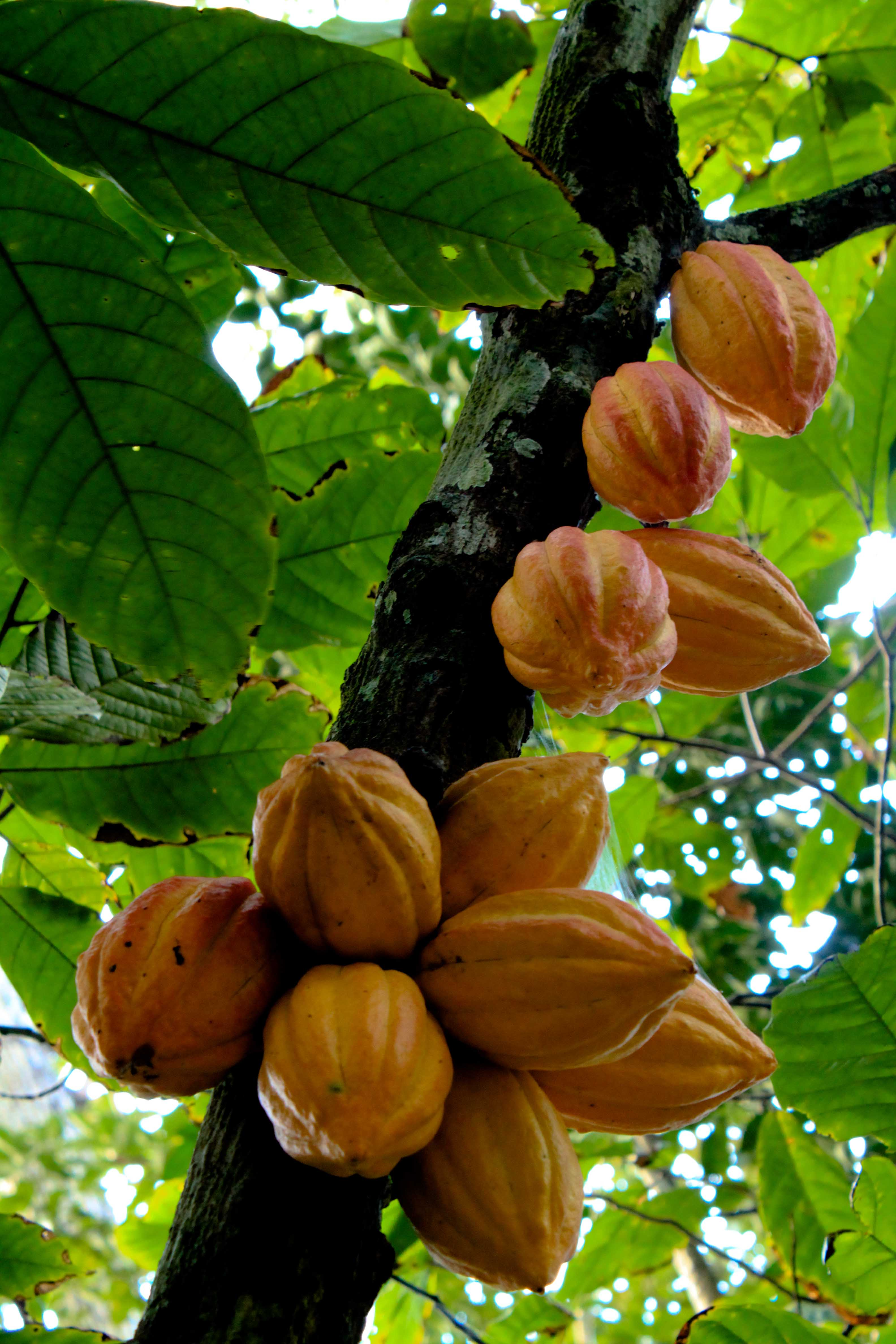 yellow cocoa pods ripening on a branch under a canopy of leaves